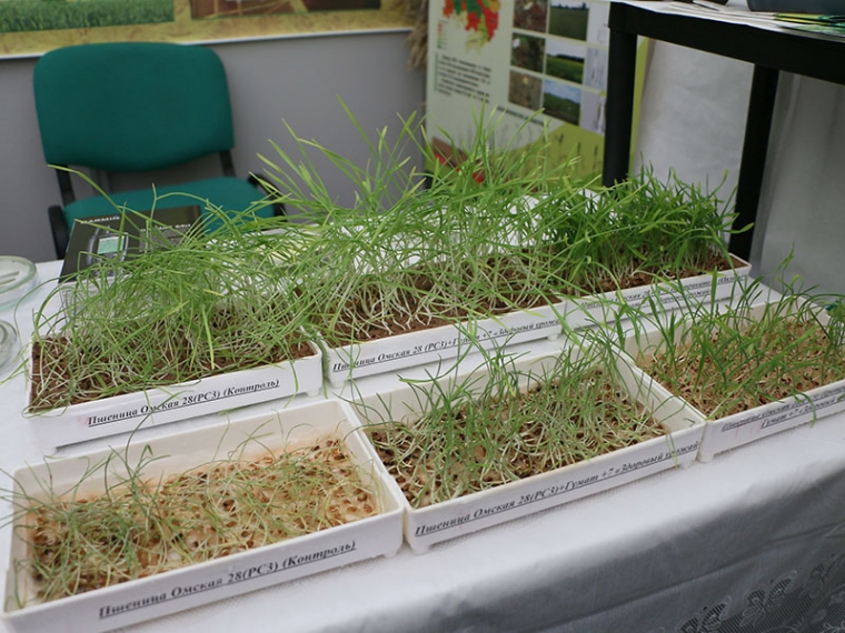 Омским аграриям предложили пшеницу заменить нутом и рапсом #Экономика #Омск