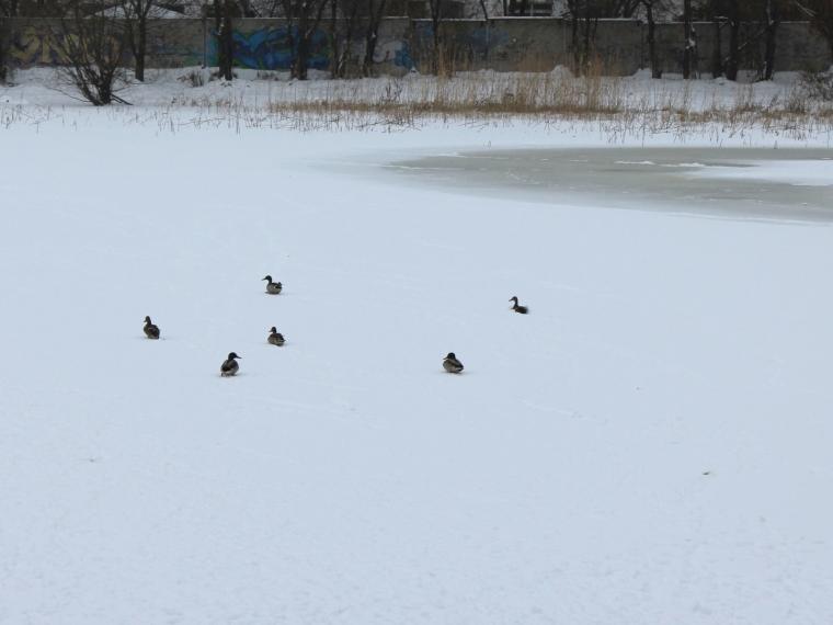 Стая серых уток неулетает назимовку сомского озера вавиагородке
