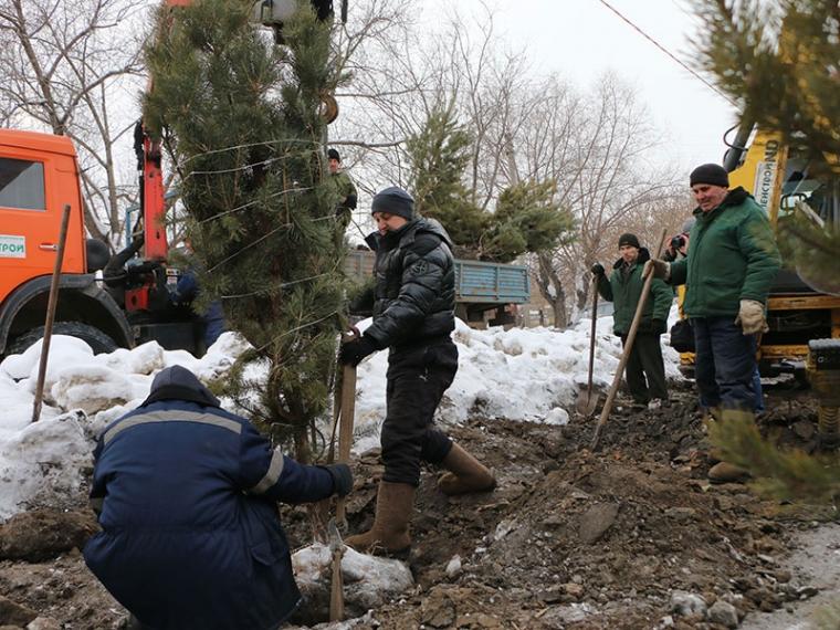 ВОмске вмороз высадили 60 хвойных деревьев
