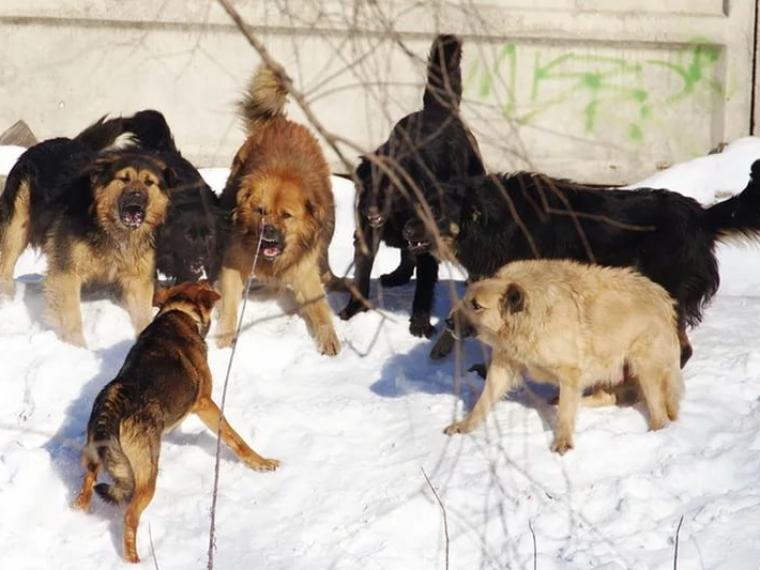 Наомичку сребёнком напала стая собак