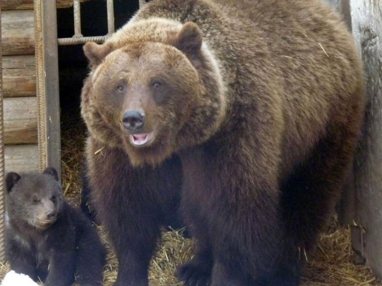 ВБольшереченском зоопарке успящей медведицы Маши родились дети