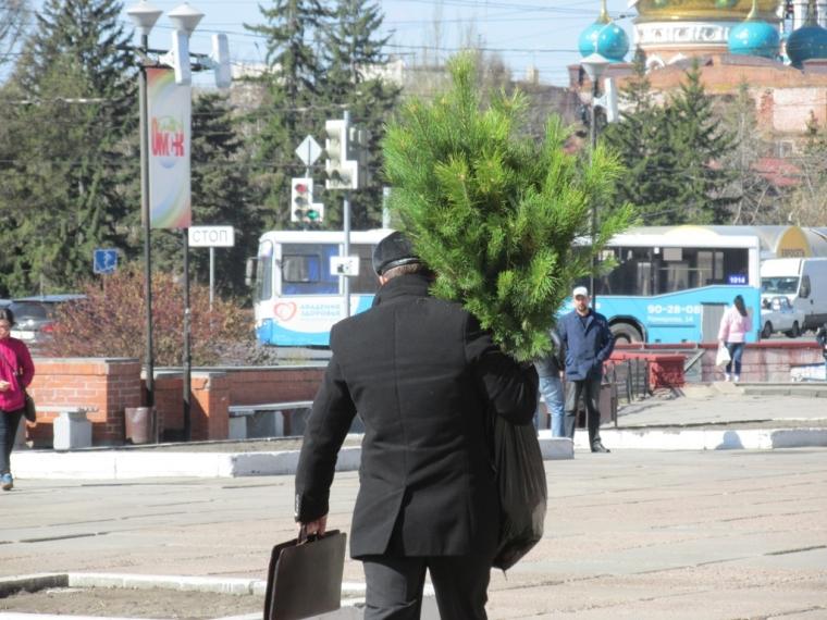 ВОмске саженцы сосен продадут по10 руб.