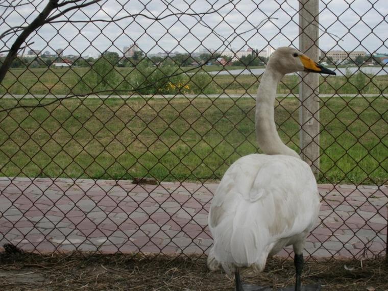 Омич спас отсобак краснокнижного лебедя