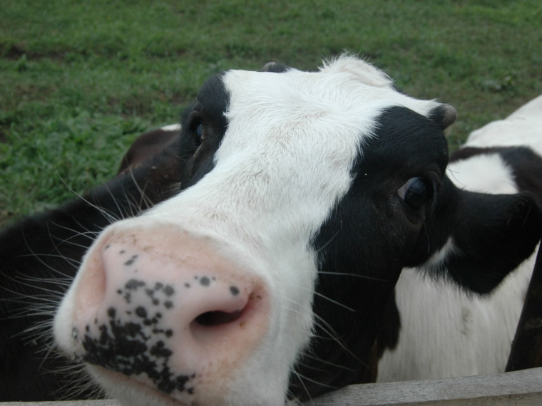 Омским крестьянам обещали по5 тыс. закаждую новейшую корову