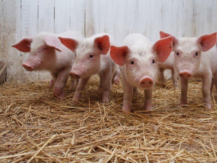Под Омском разбойники скормили жертву свиньям