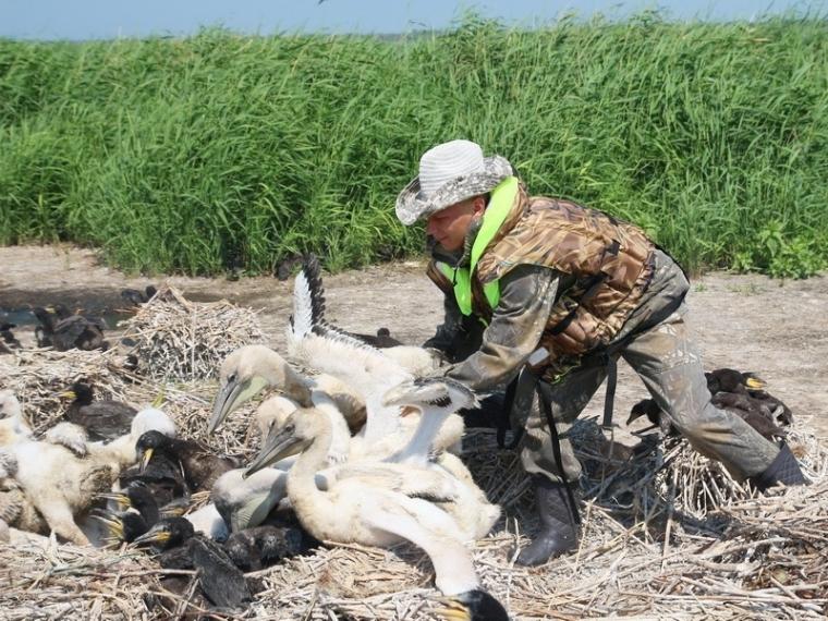 ИзЮжной Азии наомское озеро Тенис вернулись пеликаны